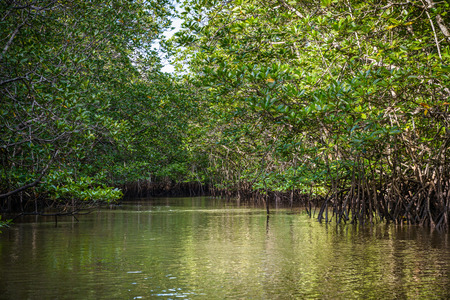 Mangrove on Bintan Island in Indonesia