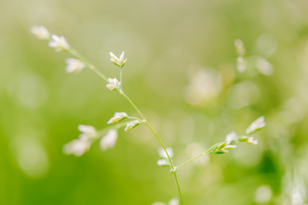 Macro shot of grass with seeds, shallow depth of field