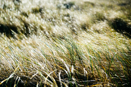 Closeup of backlit grass in a coastal meadow