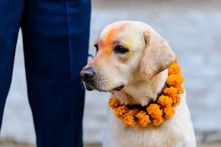 Celebrating Kukur Tihar festival in Kathmandu, Nepal. Dog with tika and marigold garland.