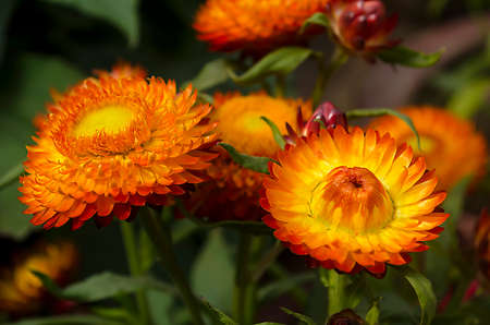 everlasting: Everlasting or strawflowers Stock Photo