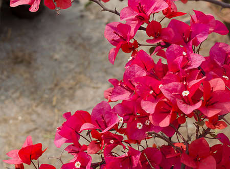 Bougainvillea flower (paper flower) photo