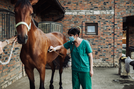 Woman veterinary checking horse health in stable