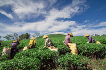 Women at work on tea hill, Bao Loc highland, Vietnam photo