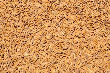 Drying Paddy rice
