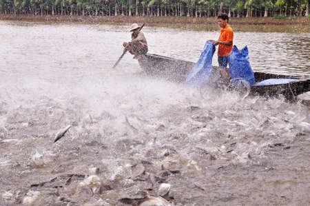 그 수, 베트남 -2011 년 7 월 1 일 : 농민 베트남의 메콩 델타에서 자신의 연못에 팡시 우스 메기를 먹이 있습니다