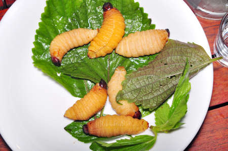 weevil: Red Palm Weevil Larva or Coconut worm or Duong dua or sago worm Rhynchophorus ferrugineus from Vietnam