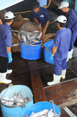 pangasius: TIEN GIANG, VIETNAM - AUGUST 30, 2012: Pangasius catfish is being tranfered from the main boat to the processing plant by buckets