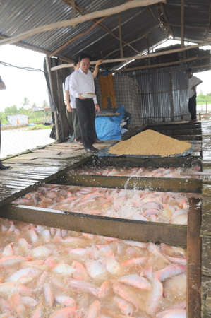countervailing duty: DONG THAP, VIETNAM - AUGUST 31, 2012: Farming of red tilapia in cage on river in the mekong delta of Vietnam Editorial