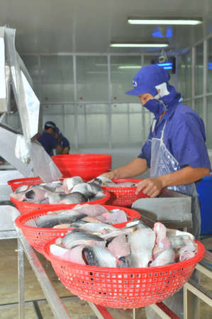 AN GIANG, VIETNAM - DECEMBER 26, 2012: Vietnamese workers are sorting pangasius fish after filleting in a seafood processing plant in the mekong delta