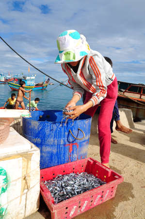 forage fish: QUANG NGAI, VIETNAM - JUNE 5, 2012: A woman worker is collecting her anchovies fish into a basket to bring to the local seafood market in Ly Son island