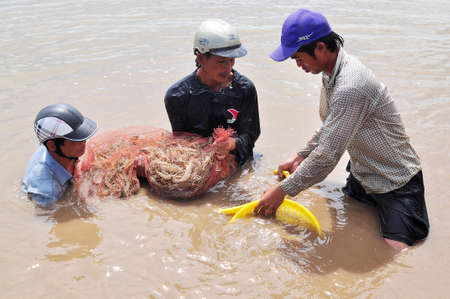 forage fish: BAC LIEU, VIETNAM - NOVEMBER 22, 2012: Fishermen are harvesting shrimp from their pond by fishing nets in Bac Lieu city Editorial