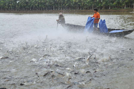 fish breeding: CAN THO, VIETNAM - JULY 1, 2011: Farmers are feeding pangsius catfish in their pond in the mekong delta of Vietnam