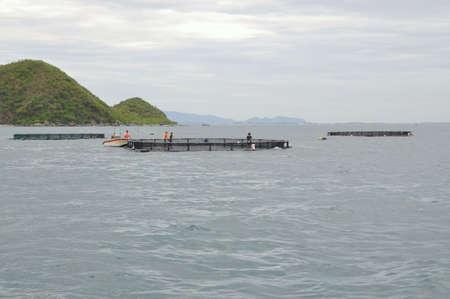 barramundi: NHA TRANG, VIETNAM - JUNE 23, 2013: Feeding barramundi fish in cage culture in the Van Phong bay in Vietnam
