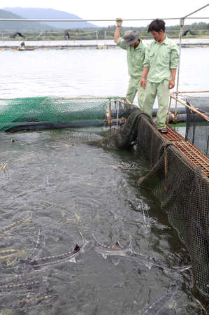 september 2: LAM DONG, VIETNAM - SEPTEMBER 2, 2012: Workers are feeding the farming sturgeon fish in cage culture in Tuyen Lam lake