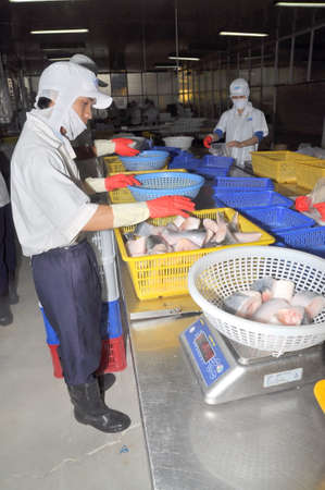countervailing duty: AN GIANG, VIETNAM - DECEMBER 26, 2012: Vietnamese workers are sorting pangasius fish after cutting in a seafood processing plant in the mekong delta