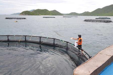 NHA TRANG, VIETNAM - JUNE 23, 2013: Feeding barramundi fish in cage culture in the Van Phong bay in Vietnam