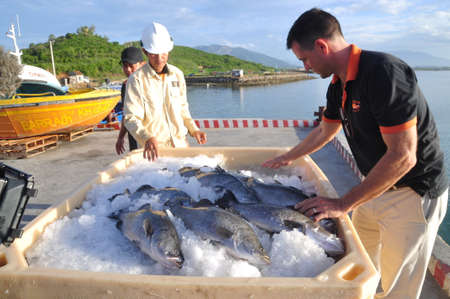 world market: NHA TRANG, VIETNAM - JUNE 23, 2013: Barramundi fish are farmed in the Van Phong Bay and exported to the world market