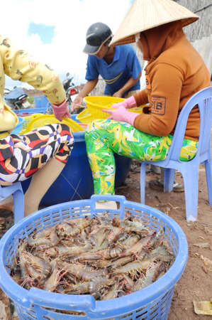 grading: Bac Lieu, VIETNAM - 22 de noviembre de 2012: los agricultores vietnamitas est�n calificando camarones despu�s de la cosecha de su estanque antes de vender a las plantas de procesamiento en la ciudad de Bac Lieu Editorial