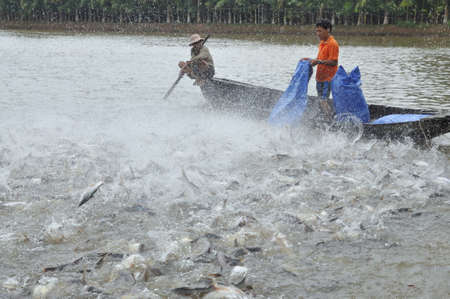 CAN THO, VIETNAM - JULY 1, 2011: Farmers are feeding pangsius catfish in their pond in the mekong delta of Vietnam