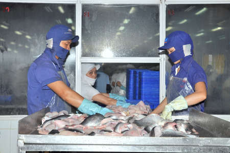 filleting: AN GIANG, VIETNAM - DECEMBER 26, 2012: Vietnamese workers are sorting pangasius fish after filleting in a seafood processing plant in the mekong delta