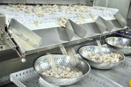 camaron: Phan sonó, Vietnam - 29 de diciembre 2014: Camarones están peladas y congeladas y dimensionada para la exportación en una fábrica de mariscos en Vietnam Editorial