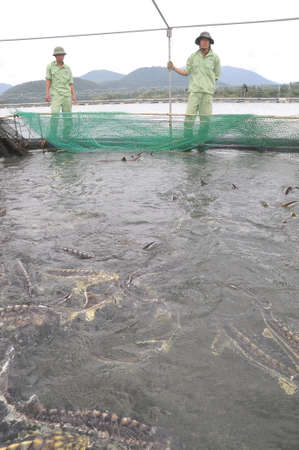 hatchery: LAM DONG, VIETNAM - SEPTEMBER 2, 2012: Workers are feeding the farming sturgeon fish in cage culture in Tuyen Lam lake