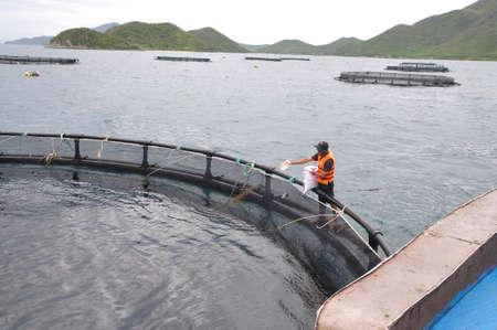 shrimp boat: NHA TRANG, VIETNAM - JUNE 23, 2013: Feeding barramundi fish in cage culture in the Van Phong bay in Vietnam