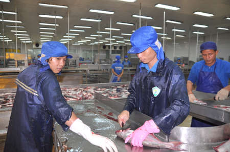 CAN THO, VIETNAM - JULY 1, 2011: Workers are killing pangasius catfish before transfering them to the next processing line in a seafood factory in the Mekong delta of Vietnam