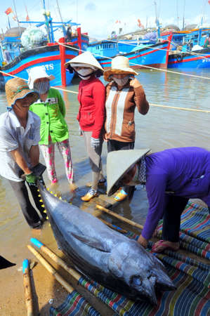 exploited: TUY HOA VIETNAM  FEBRUARY 28 2012: Local fishermen are transporting tuna fish from their vessels to the stretcher and bring it to the testing house in Tuy Hoa seaport