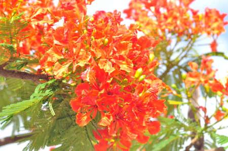 호화로운 poinciana 또는 Mohur 나무