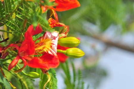 Flamboyant, Royal poinciana or Mohur tree