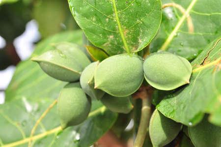 tannins: Terminalia catappa fruit
