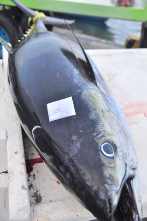 thunnus: General Santos, Philippines - September 5, 2015: Tuna are marked with the name of the fisherman who caught them