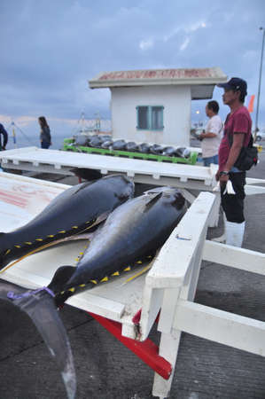 thunnus: General Santos, Philippines - September 5, 2015: Tuna are being loaded on to truck to the seafood factory Editorial