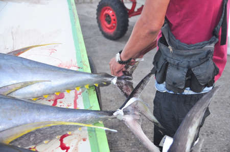 thunnus: General Santos, Philippines - September 5, 2015: A fisherman is  marking his tuna at the seaport Editorial