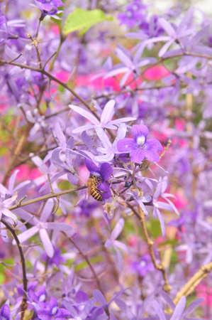 Purple Queen Flower