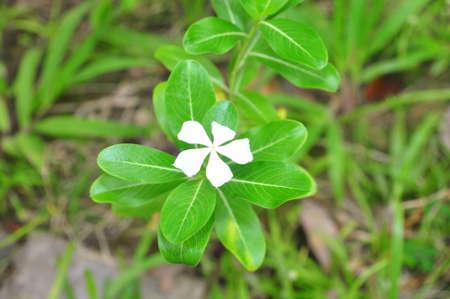 Periwinkle flower Stock Photo