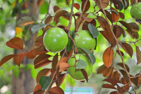 Starapple fruit in the tree Stock Photo