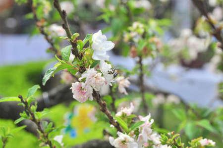 春に白のアンズの花 写真素材