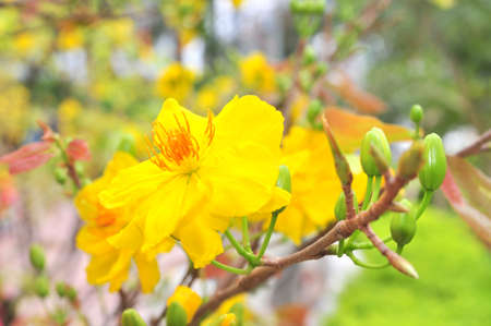yellow blossom: Yellow apricot blossom in the spring