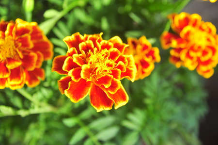 red  carnation: Red carnation flowers