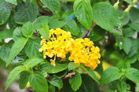 Ageratum conyzoides blossom