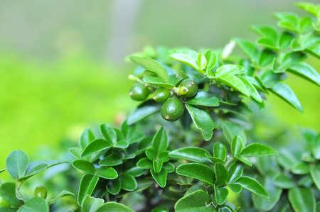 Kumquat in garden