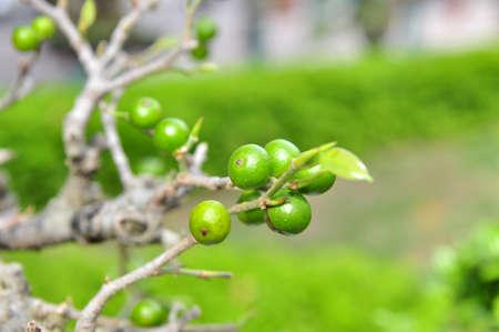 knobby: Kumquat in garden