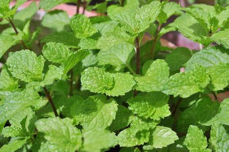 Mint leaf in a farm in Vietnam