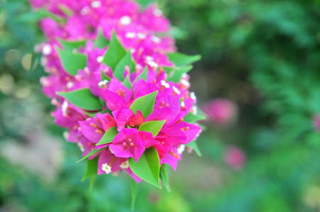 bougainvilleas: Bougainvilleas flowers Stock Photo