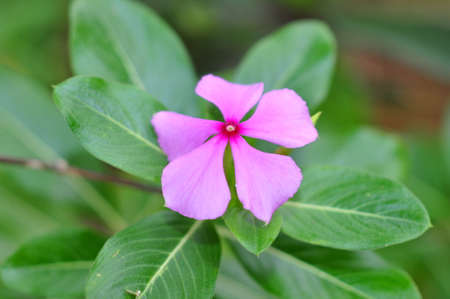 Periwinkle flower Stock Photo