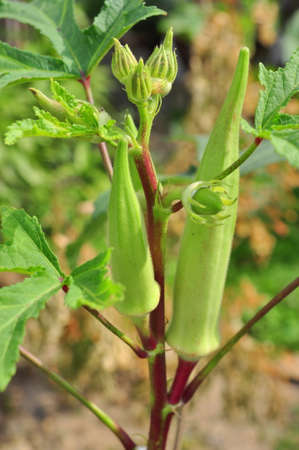 Okra or Okro plant and fruit