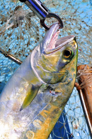catfish: Queenfish in the hook anf fishing net
